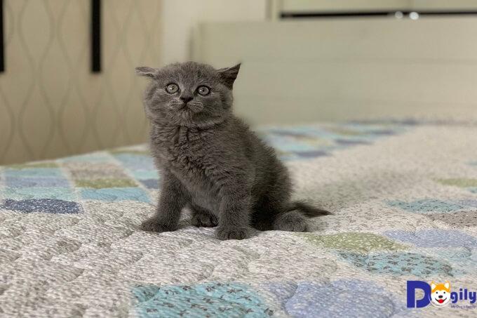 bán mèo anh lông ngắn xinh xắn và dễ thương, mua meo anh lông ngắn lai