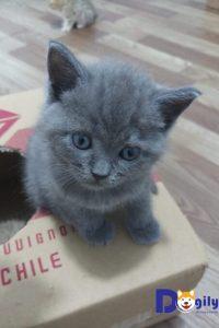 Bán mèo anh lông ngắn 2 tháng tuổi với bộ lông màu xám dễ thương