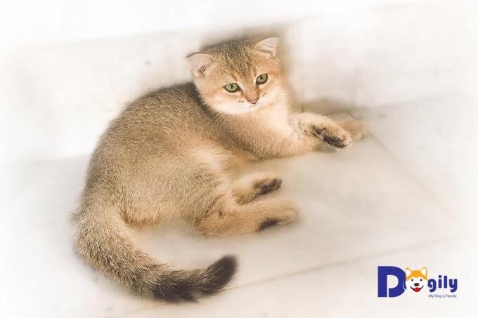 Có nên mua một chú mèo Anh lông ngắn lai không ? Vì sao ?