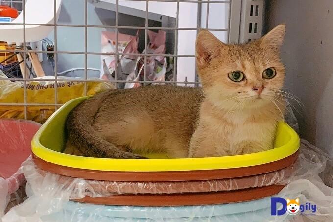 bán mèo anh lông ngắn màu golden xinh và dễ thương