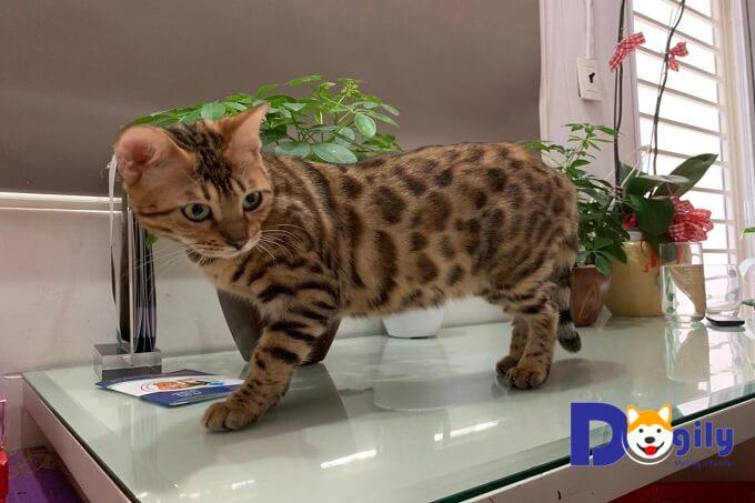 mèo Bengal nhỏ đang vui đùa nhìn thật dễ thương và đáng yêu