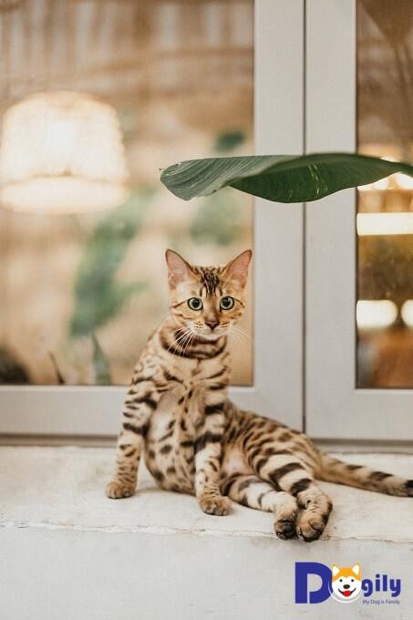 Bán mèo Bengal xinh xắn với bộ lông vằn đặc trưng