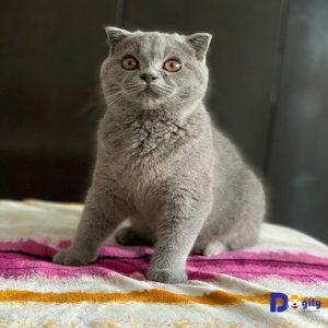 Bán mèo tai cụp scottish xinh xắn và dễ thương đây ạ;
