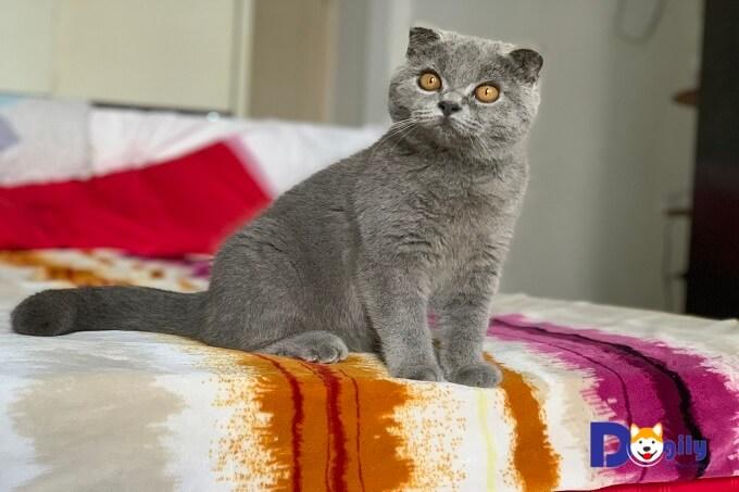 Bán mèo tai cụp scottish đẹp và chất lượng