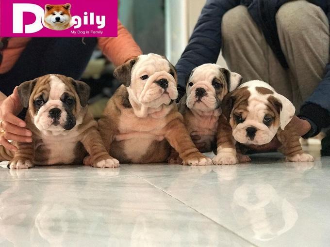Một đàn chó Bull Anh được bán tại Dogily Petshop. Bạn có thể hoàn toàn yên tâm khi mua chó Bull Anh tại Dogily Petshop với chính sách bảo hành dài hạn. Tư vấn trọn đời.