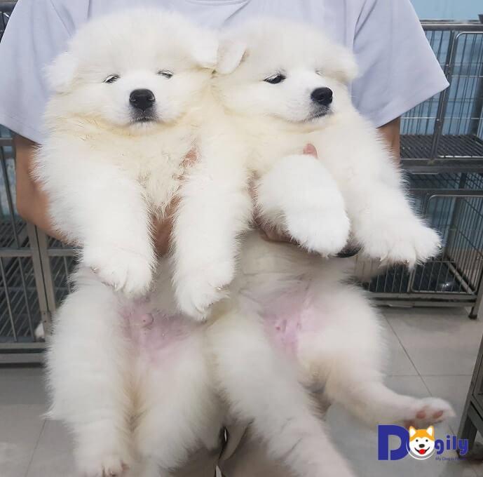 Bạn nên nhờ chuyên gia, hoặc ngươi có kinh nghiệm nuôi để cùng chọn mua chó Samoyed. Hoặc tìm đến người bán có uy tín, chuyên nghiệp.