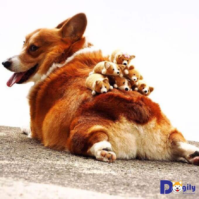 Chó Corgi có nguồn gốc từ Xứ Wales thuộc Vương quốc Anh.