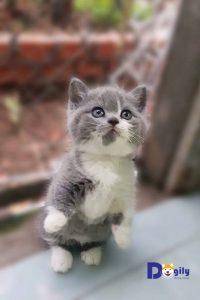 Bạn không nên nuôi mèo anh lông ngắn sơ sinh bằng sữa bò mà phải dùng sữa chuyên dụng cho mèo sơ sinh.