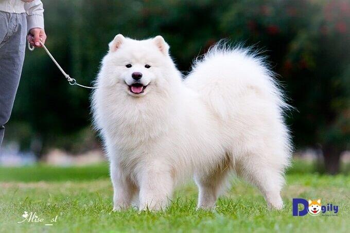 Với bộ lông dài và quen với khí hậu lạnh. Chó Samoyed dễ bị sốc nhiệt vào mùa hè nếu bị ra ngoài trời nắng gắt.