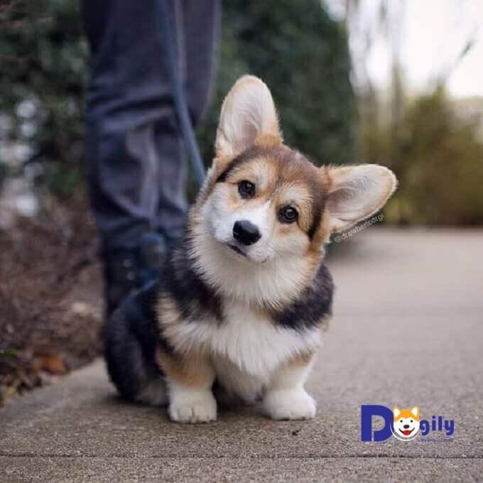 Chó Corgi Cardigan có tính cách rất thân thiện, tình cảm và dễ thương.