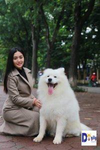 Chó Samoyed có tính tình rất ngọt ngào, thân thiện và gần gũi.