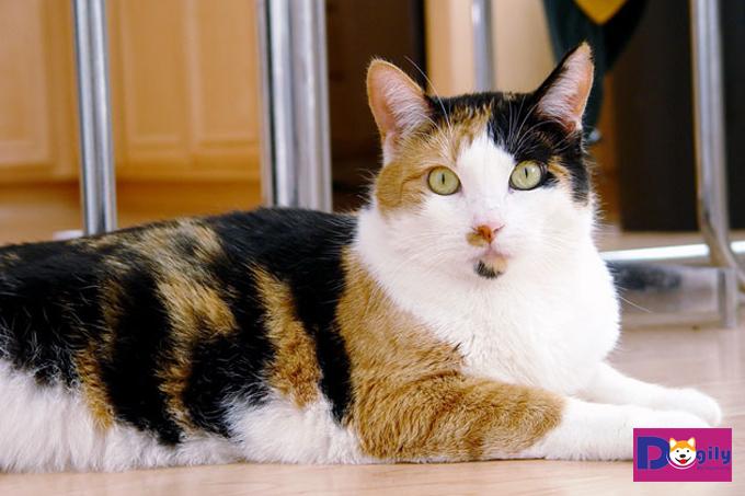 Chú mèo tam thể cái với bộ lông ba màu