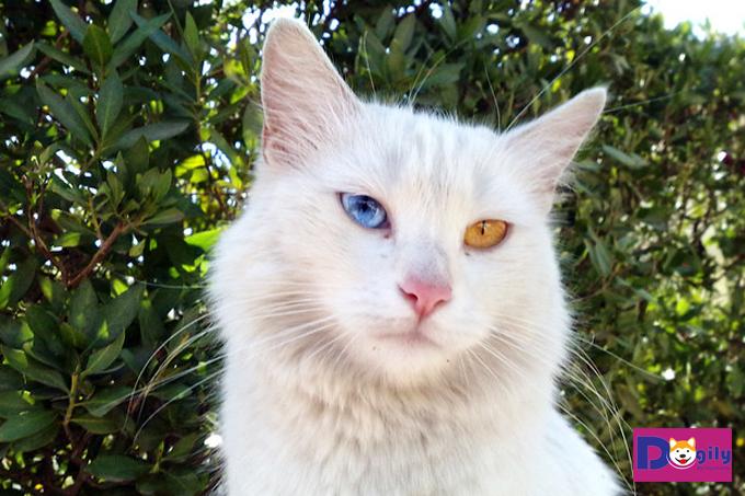 Giá của bé mèo Anh lông dài bao nhiêu?