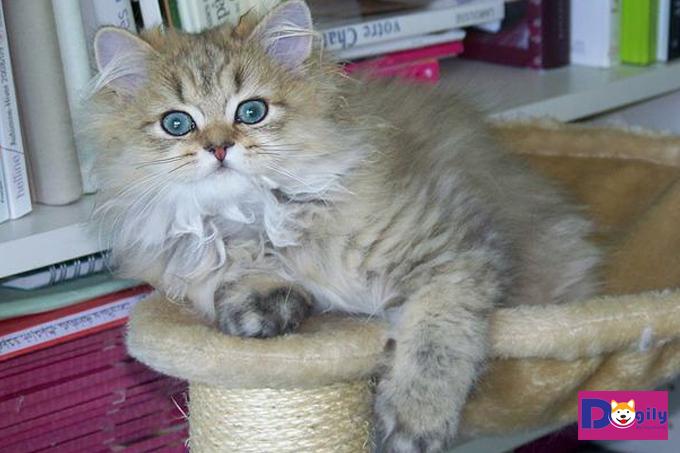 Mèo Anh lai mèo Ba Tư