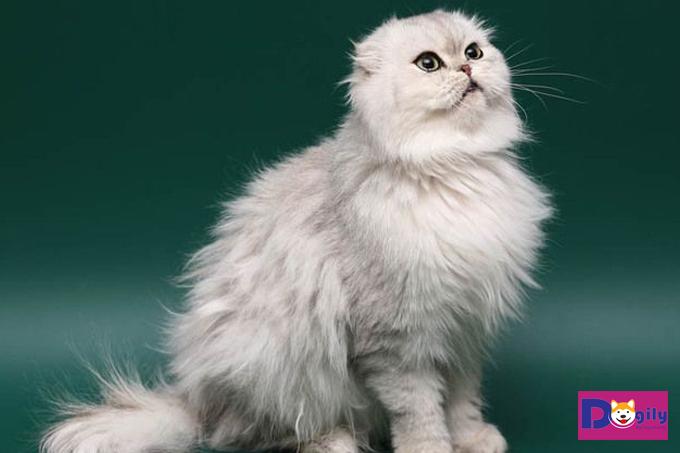 Mèo Anh lông dài lai mèo Scottish