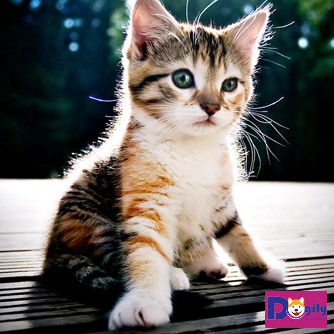 Vì sao có quan niệm mèo tam thể đực là linh vật may mắn?