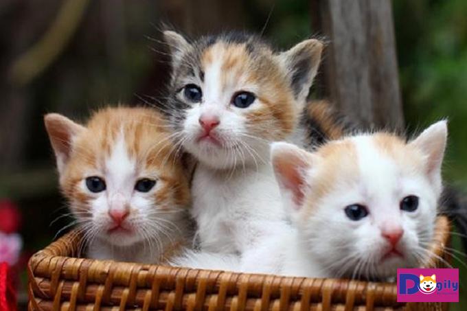 Mèo tam thể cái có khả năng sinh sản hay không?