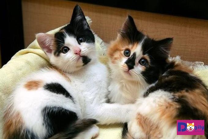 Mèo tam thể là giống mèo gì?