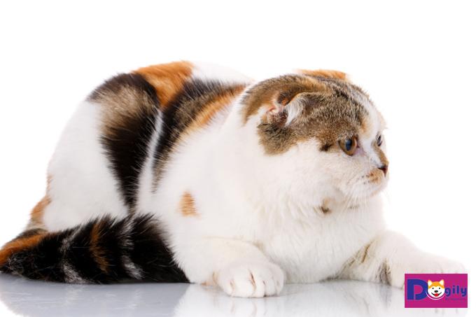 Mèo tam thể vào nhà là điềm gì?