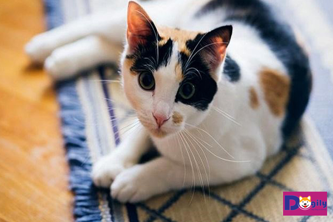 Một bé mèo tam thể cái giá bao nhiêu trên thị trường?