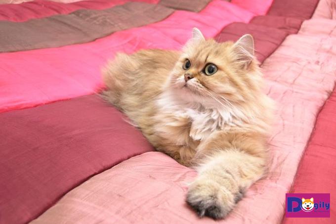 Ngoại hình của mèo Anh lông dài