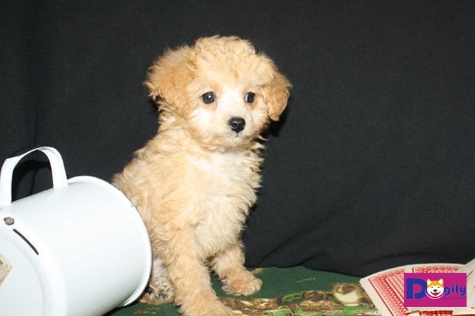 Những chú cún Teacup Poodle siêu cute