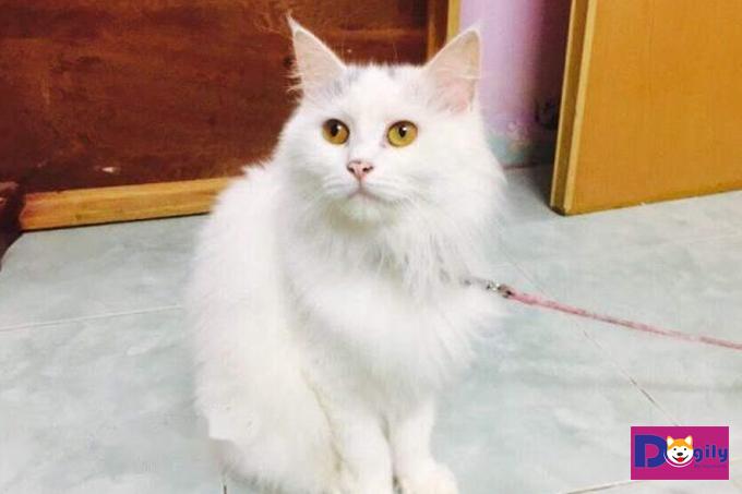 Tuổi thọ của mèo Anh lông dài