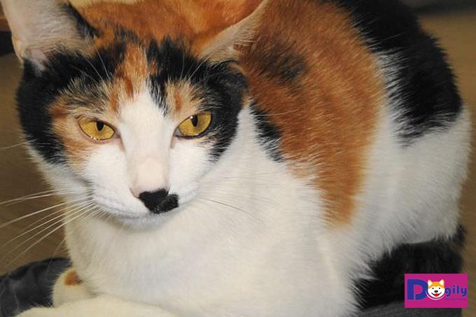 Ý nghĩa của việc mèo tam thể vào nhà theo quan niệm ở Việt Nam