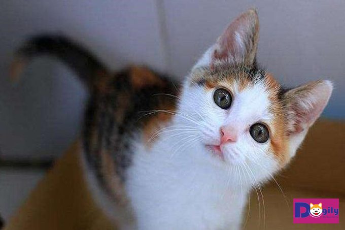 Ý nghĩa về mèo tam thể có thể bạn chưa biết