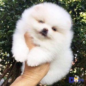 Bán chó Phốc sóc Pomeranian tháng 7/2019.