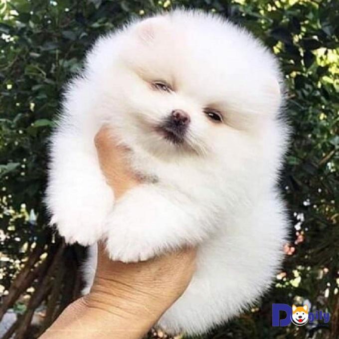 Bán đàn chó Phốc sóc size tiny cực dễ thương MSP: 0519