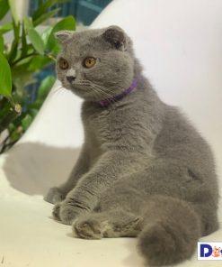 Bán mèo tai cụp Scottish Fold màu xám xanh trưởng thành tại Dogily Petshop.
