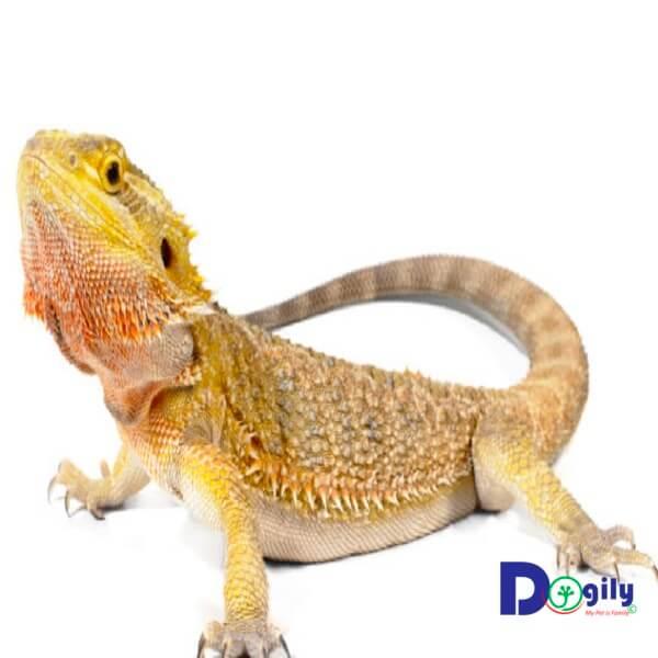 Hiện Dogily Petshop có bán rồng Úc Bearded dragon tại các cửa hàng tại Tphcm và Hà Nội.