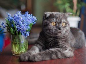 Mèo tai cụp Scottish gồm những loại nào?