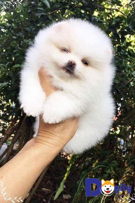 Bán chó poodle tiny tháng 7 năm 2019