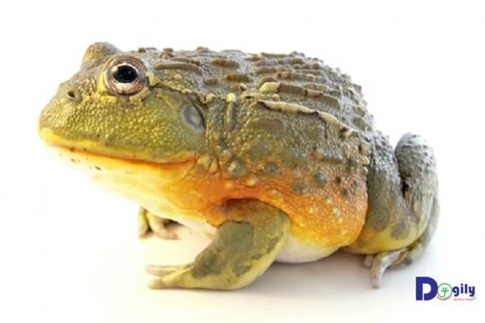Bạn cần giữ nhiệt độ ổn định khi nuôi African Bullfrog.