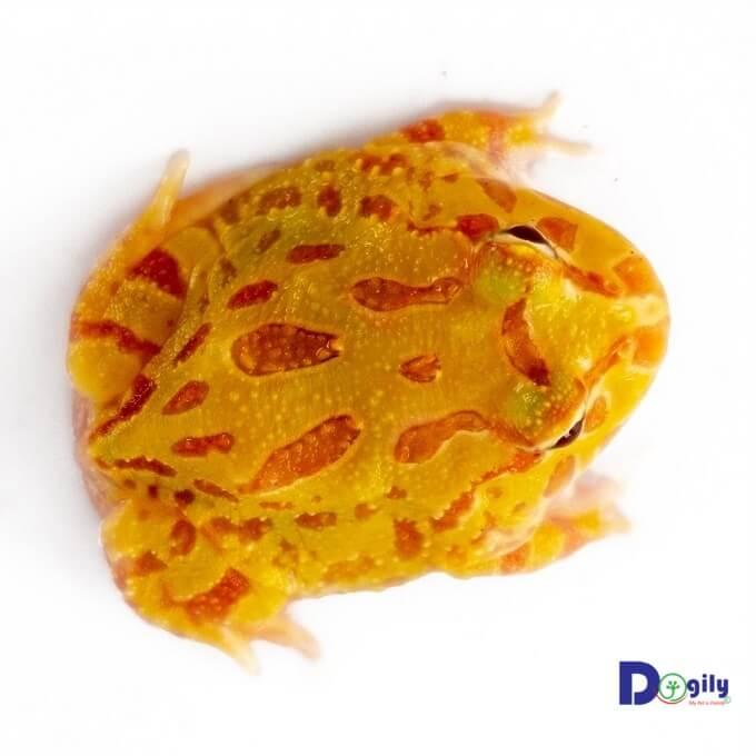 Ếch Pacman có màu sắc rất đa dạnh. Hình trên: một em ếch Pacman bạch tạng vàng Albino Pacman.
