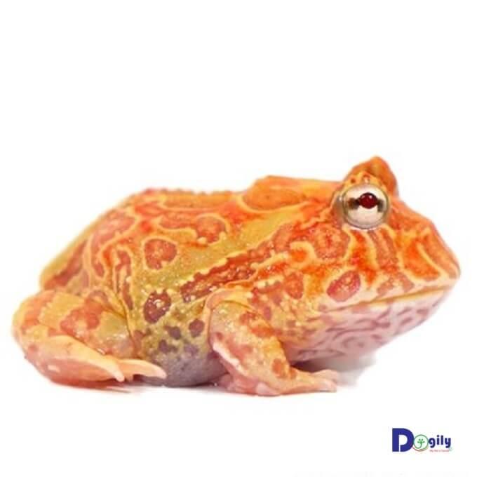 Trên da ếch Pacman có thể chứa độc tố nhẹ. Vì vậy, bạn nên thận trọng khi tiếp xúc với chúng.