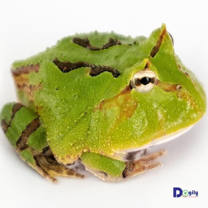 Mặc dù là loài lưỡng cư, nhưng trên thực tế ếch Pacman bơi lội khá tệ. Hình trên: Một em ếch Pacman Tricolor khá hiếm tại Việt Nam.