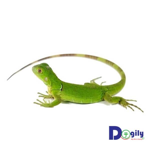 Rồng Nam Mỹ xanh Green Iguana có giá thấp nhất. Vì vậy chúng khá phổ biến và được mua bán nhiều nhất.