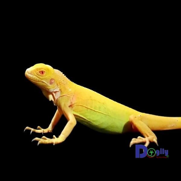 Do rất hiếm gặp, chỉ có số lượng ít bị đột biến sắc tố da. Vì vậy, giá rồng Nam Mỹ bạch tạng vàng (Albino Iguana) rất cao không chỉ ở Việt Nam mà còn trên thế giới.