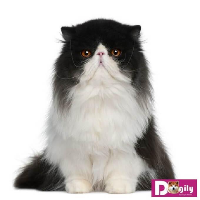 Tìm hiểu mức giá mèo Ba Tư trên thị trường hiện nay