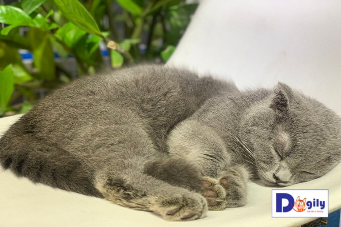 Hoàng thượng tai cụp xám xanh rất ngoan, dễ ăn, dễ nuôi và dễ ngủ nha mọi người.
