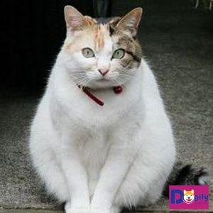 mèo tam thể cái.