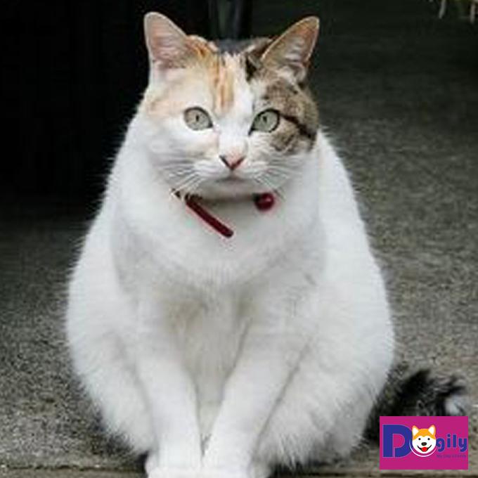 Mèo tam thể cái và những điều thú vị bạn nên biết về giống mèo này