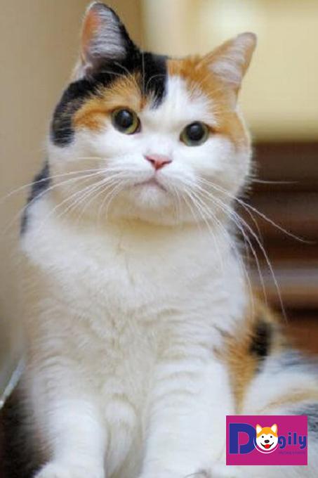 mèo tam thể vào nhà