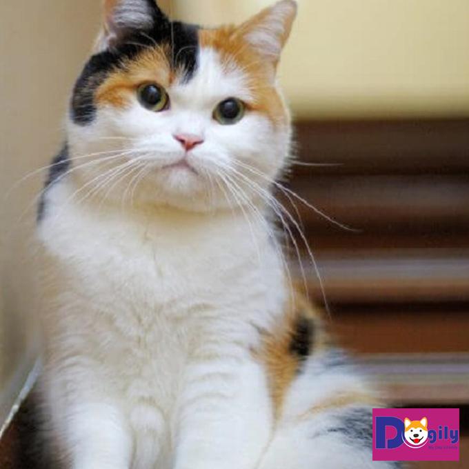Những ý nghĩa của việc mèo tam thể vào nhà có thể bạn chưa biết
