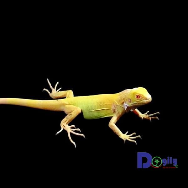 Mua bán rồng Nam Mỹ Bạch tạng vàng Albino Iguana tại Dogily Petshop Tphcm và Hà Nội.