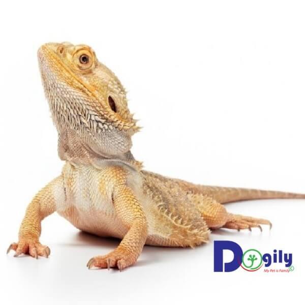 Rồng Úc bearded dragon tuy mới xuất hiện tại Việt Nam những được rất nhiều bạn trẻ lùng mua.