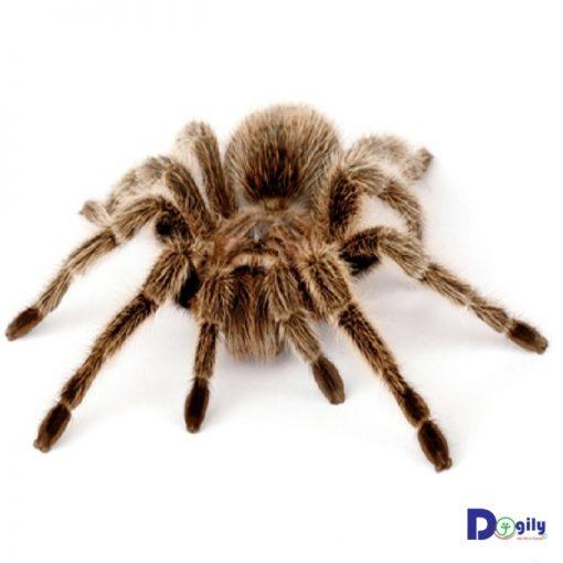Bán nhện cảnh g.rose tarantula giá rẻ tại Dogily Petshop.